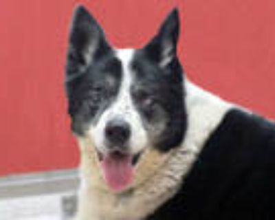 Adopt KING a Black - with White Border Collie / Mixed dog in Tucson