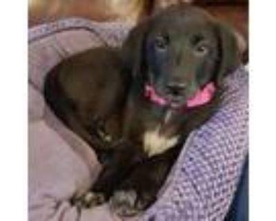 Adopt Charcoal a Labrador Retriever, Shar-Pei