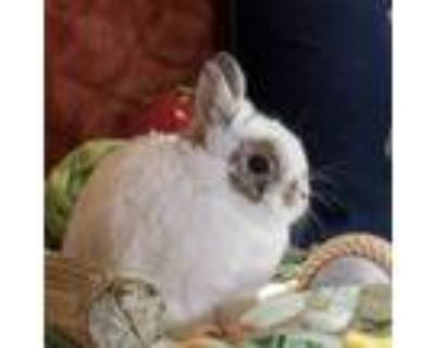 Adopt Chocolate a White Netherland Dwarf / Mixed (short coat) rabbit in Los