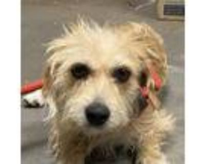 Adopt Roger a Tan/Yellow/Fawn Terrier (Unknown Type, Small) / Mixed dog in Yuma