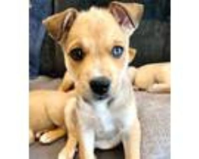Adopt Cleo a Tricolor (Tan/Brown & Black & White) Siberian Husky / Mixed dog in