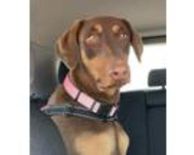 Adopt Lucille a Red/Golden/Orange/Chestnut Doberman Pinscher / Mixed dog in