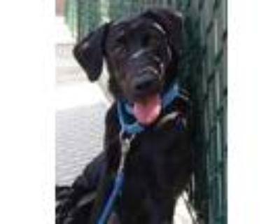 Adopt Sol a Black Labrador Retriever / Mixed dog in Cheyenne, WY (32111466)