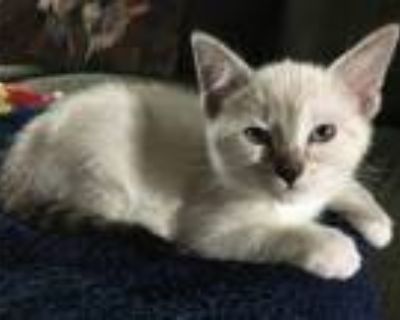 Adopt Tot 05-4237 a Gray or Blue (Mostly) Domestic Shorthair / Mixed cat in