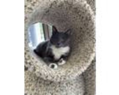 Adopt Paul Toombes a Domestic Short Hair