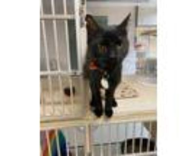 Adopt MISTLETOE a All Black Domestic Shorthair / Mixed (short coat) cat in