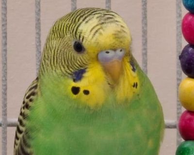 Male Parakeet - Other named Larry available for adoption