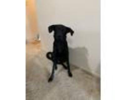Adopt Ginger a Black Vizsla / German Shepherd Dog / Mixed dog in Oak Creek