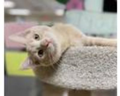 Adopt Snickerdoodle a Tan or Fawn Domestic Shorthair / Domestic Shorthair /