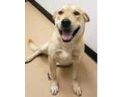 Adopt Craig a Tan/Yellow/Fawn Labrador Retriever / Mixed dog in Phoenix