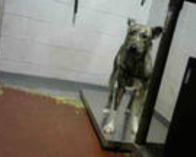 Adopt ZUMA a Brindle - with White American Pit Bull Terrier / German Shepherd