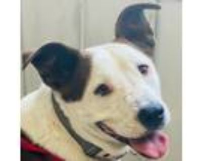 Adopt DOROTHY a Staffordshire Bull Terrier