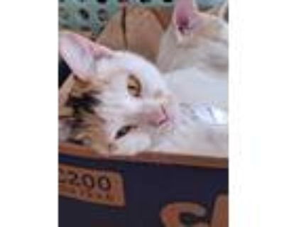 Adopt Miss Whittlebury a White Domestic Shorthair / Mixed cat in Morgantown