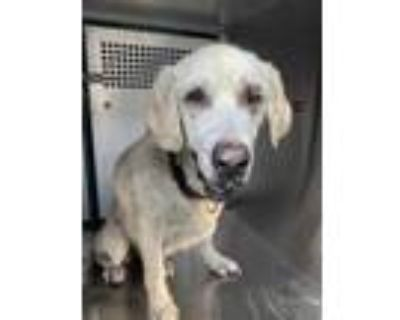 Adopt Myla a Tan/Yellow/Fawn Labrador Retriever / Mixed dog in Fort Worth