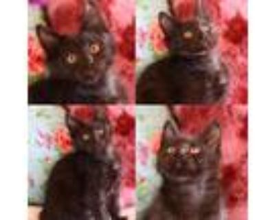 Adopt Tweety Bird a All Black Domestic Longhair / Mixed cat in Houston