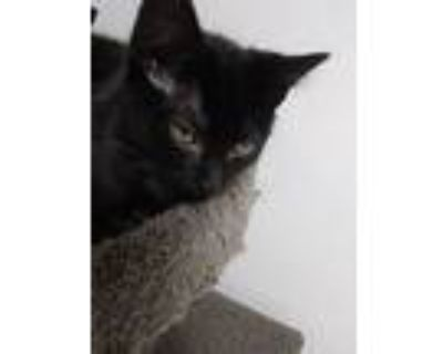 Bromine, Domestic Shorthair For Adoption In Portsmouth, Virginia