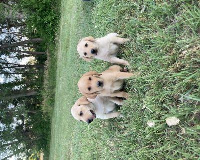 AKC Lab Puppies