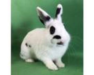 Adopt Gemini a Bunny Rabbit