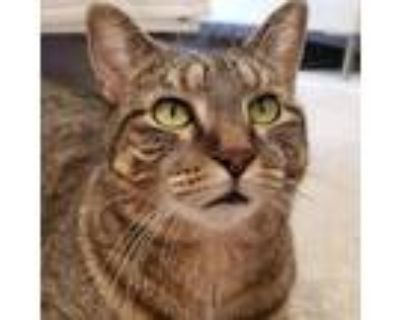 Adopt Tonna a Brown Tabby Domestic Shorthair / Mixed cat in St.
