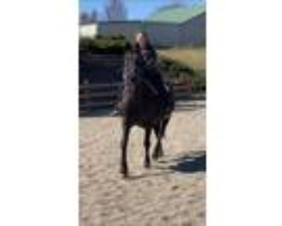 Reduced Friesian Appaloosa 10 year old mare FHH registered