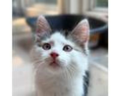Adopt Floof a Gray or Blue (Mostly) Domestic Longhair / Mixed cat in Palatine