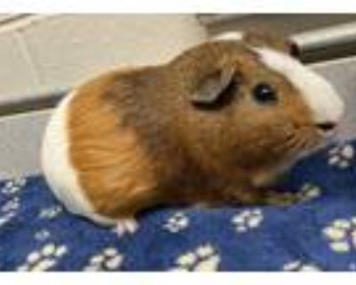 Adopt Big Mac a Brown or Chocolate Guinea Pig / Mixed small animal in Dayton
