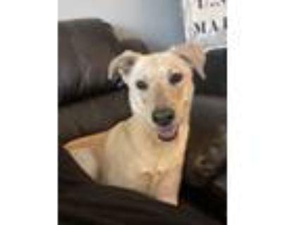 Adopt Arnold a Labrador Retriever, Shepherd