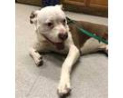 Adopt BENJI a White - with Brown or Chocolate American Pit Bull Terrier / Mixed