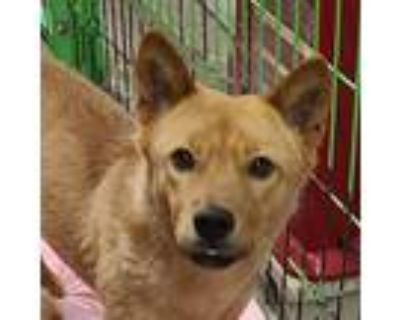 Adopt Agnes a Red/Golden/Orange/Chestnut Jindo / Spitz (Unknown Type