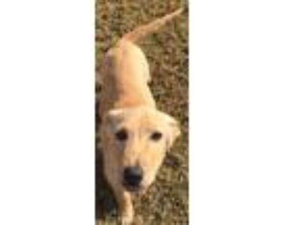 Adopt Carter a Labrador Retriever / Labrador Retriever dog in Mesquite