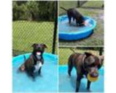 Adopt 21-050 Grady a Black Labrador Retriever