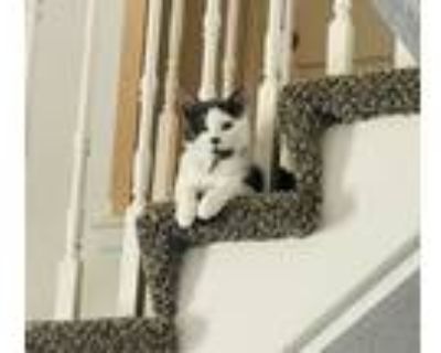 Adopt Otis a White (Mostly) Domestic Shorthair / Mixed (short coat) cat in