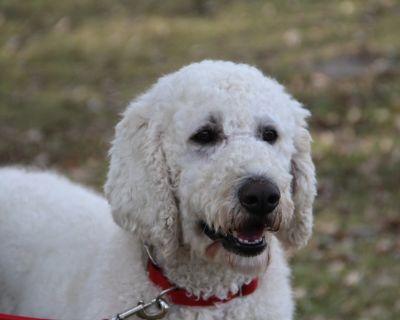 Standard Poodle Stud Dog