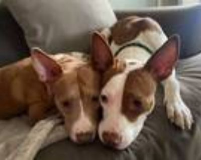 Adopt Lily and Layla- Bonded Sisters a Basenji, Staffordshire Bull Terrier