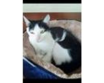 Adopt Kate NJ Kitty a Domestic Short Hair