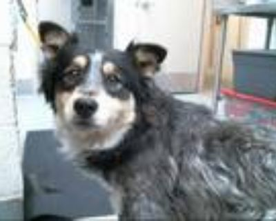 Adopt RIGGS a Merle Australian Shepherd / Mixed dog in Albuquerque