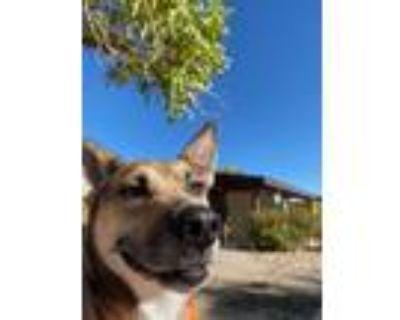 Adopt Symphony a Labrador Retriever, German Shepherd Dog