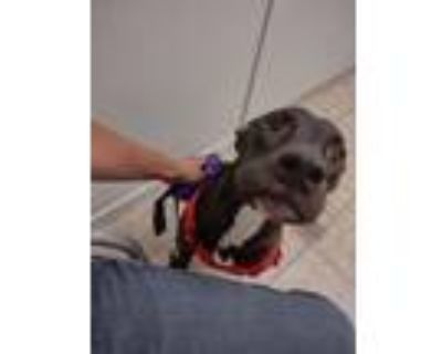 Adopt Zorro a Pit Bull Terrier, Mixed Breed