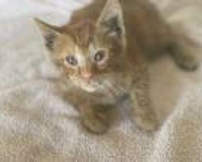 Adopt SONNY a Orange or Red Tabby Domestic Shorthair / Mixed (short coat) cat in