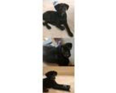 Adopt Magnolia Nancy a Labrador Retriever / Mixed dog in Chantilly