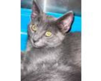 Adopt Nightlife a Gray or Blue Domestic Shorthair / Domestic Shorthair / Mixed