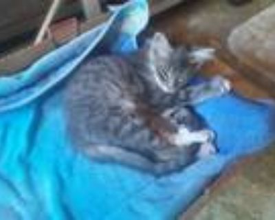 Adopt Aiden a Maine Coon, Exotic Shorthair