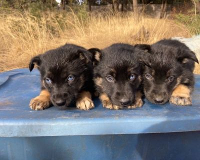 Husky German Shepherd puppies
