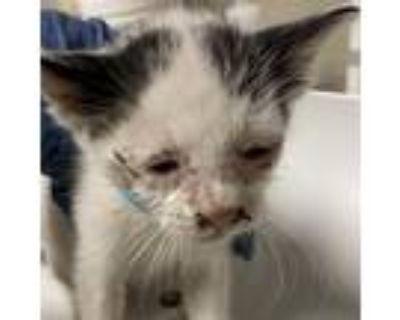 Adopt Solo a White Domestic Shorthair cat in Yuma, AZ (31256283)