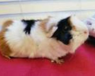 Adopt Cookie a Black Guinea Pig / Guinea Pig / Mixed small animal in Fairfax
