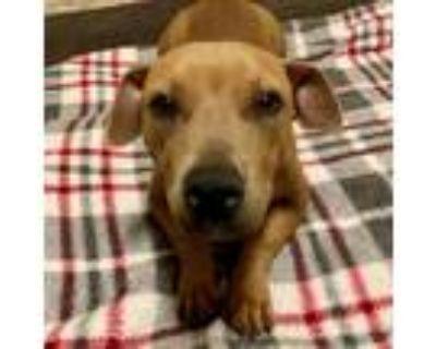 Adopt Chef a Red/Golden/Orange/Chestnut Pit Bull Terrier / Dachshund / Mixed dog