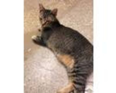 Adopt Bumblebee a Abyssinian, Domestic Short Hair