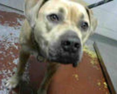 Adopt RODNEY a Tan/Yellow/Fawn Bullmastiff / Mixed dog in Atlanta, GA (31070643)