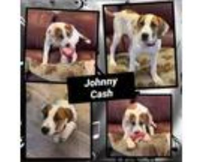 Adopt Johnny Cash a White - with Red, Golden, Orange or Chestnut Hound (Unknown