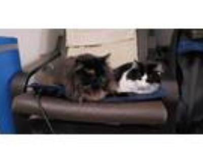 Adopt Jack and Miya a All Black Domestic Mediumhair / Mixed (long coat) cat in